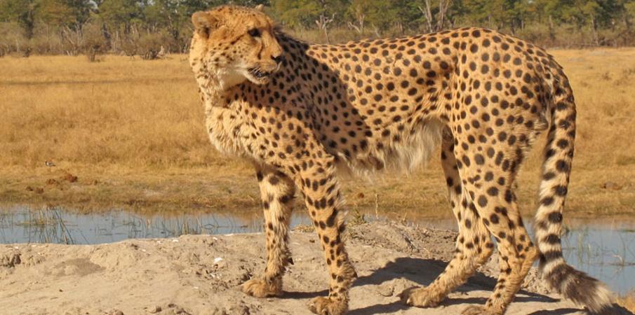 Cheetah tented camp